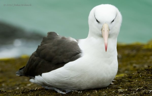 4:2:2015 blkbrowed-albatrosssm