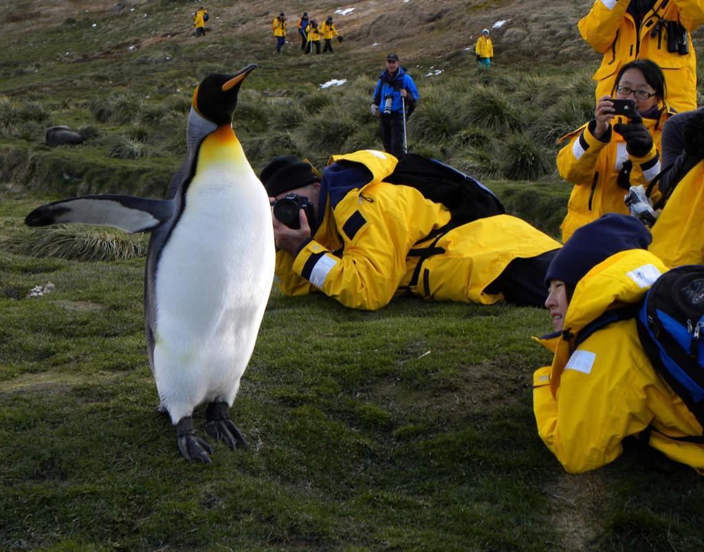 11:4:2015 penguin-showing-off-to-photographers-2